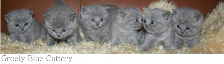 Greely Blue Cattery specializing in British Shorthair Blue Cats
